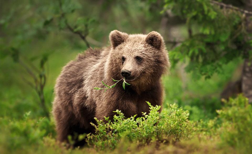 Urs cu o planta in gura vazut de aproape.