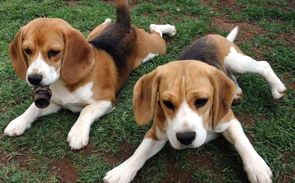 Pui de Foxhound American stand culcati in iarba.