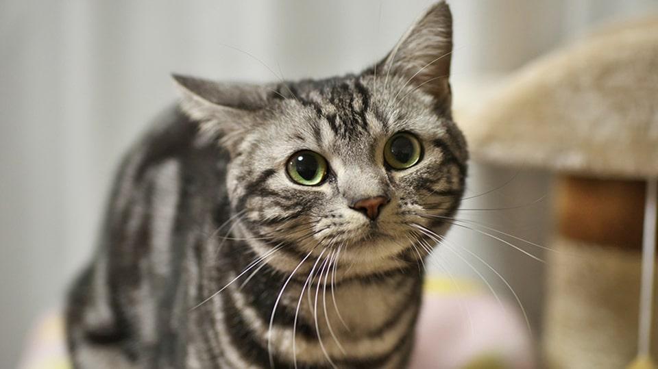 Pisica American Shorthair.
