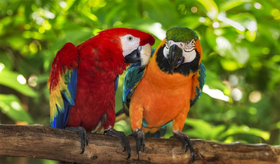 Doi papagali curcubeu stand pe o creanga.