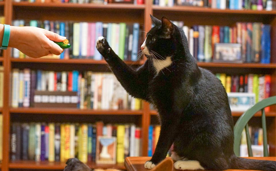Pisica dresata de stapan cu un clicker.