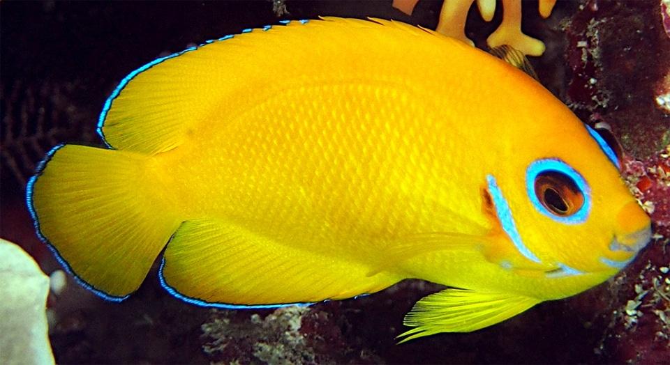Peste Lemonpeel Angelfish vazut de aproape.