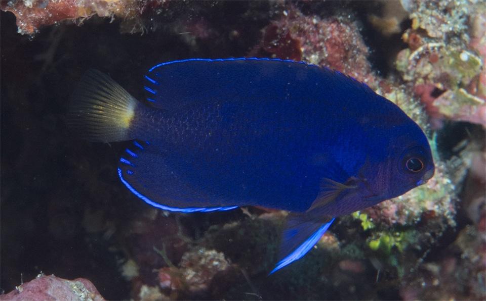 Peste Ingerul pescarului albastru, vazut de aproape.