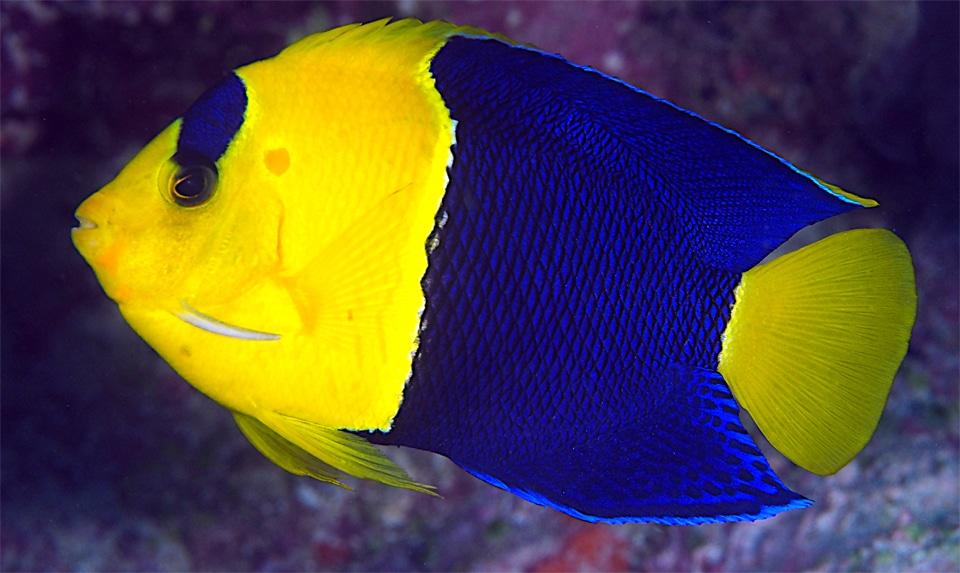 Pește-Înger bicolor vazut de aproape.