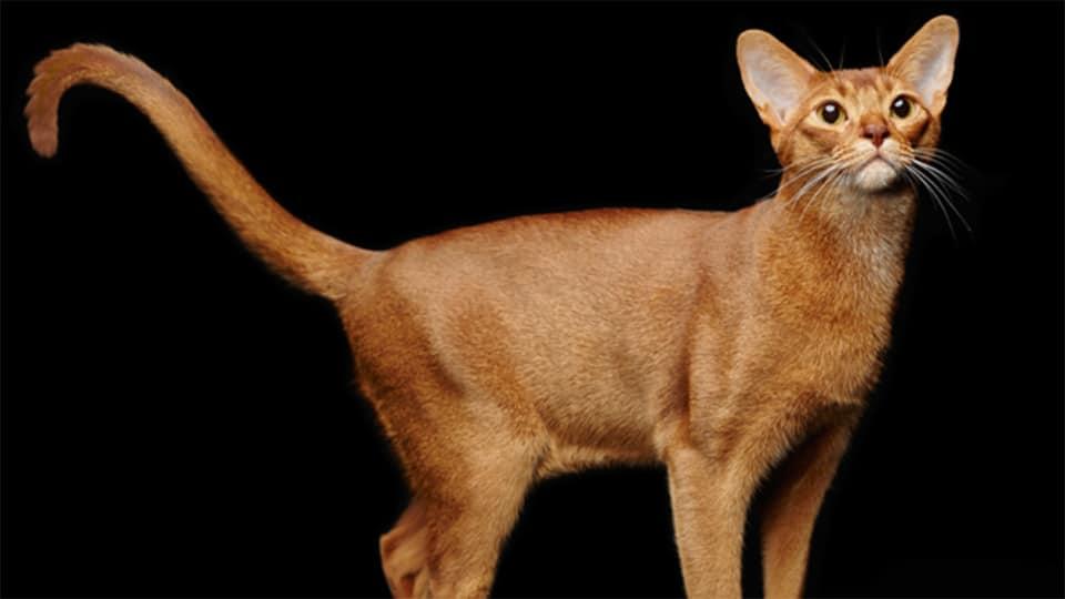Pisica Abisiniană.