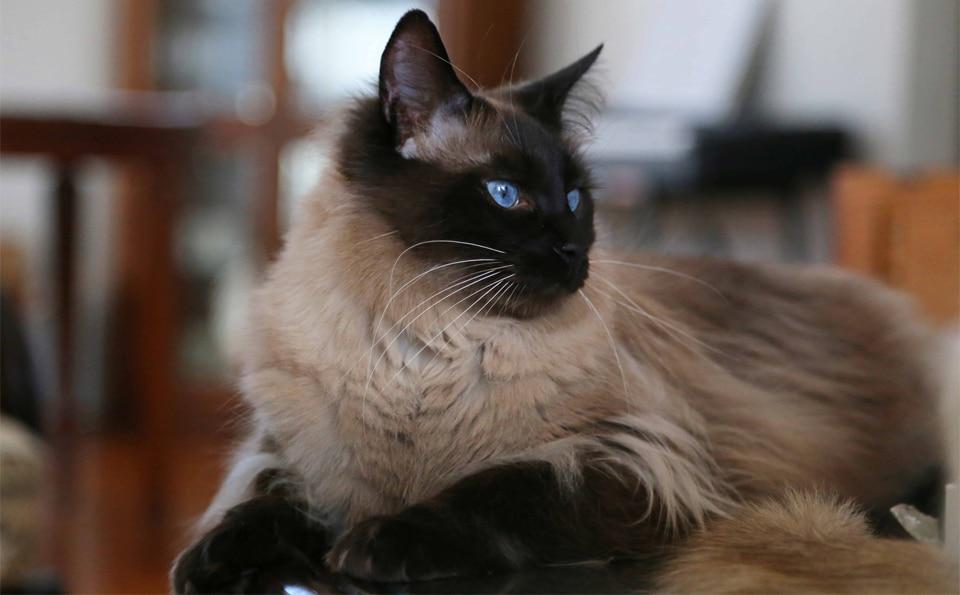 Pisica Balineza vazuta de aproape.