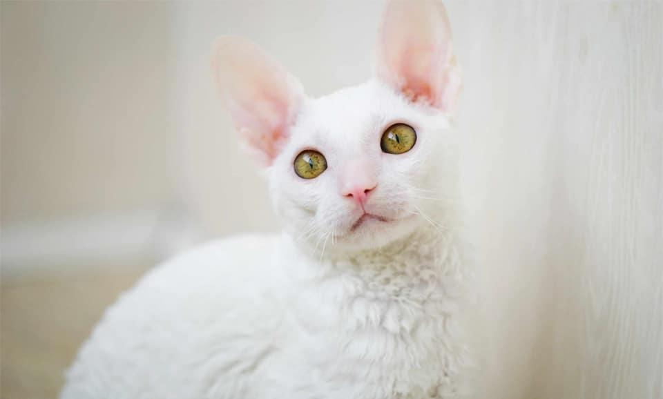Pisica Cornish Rex alba vazuta de aproape.