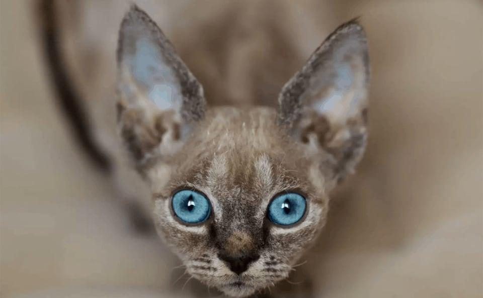 Pisica Devon Rex vazuta de aproape.