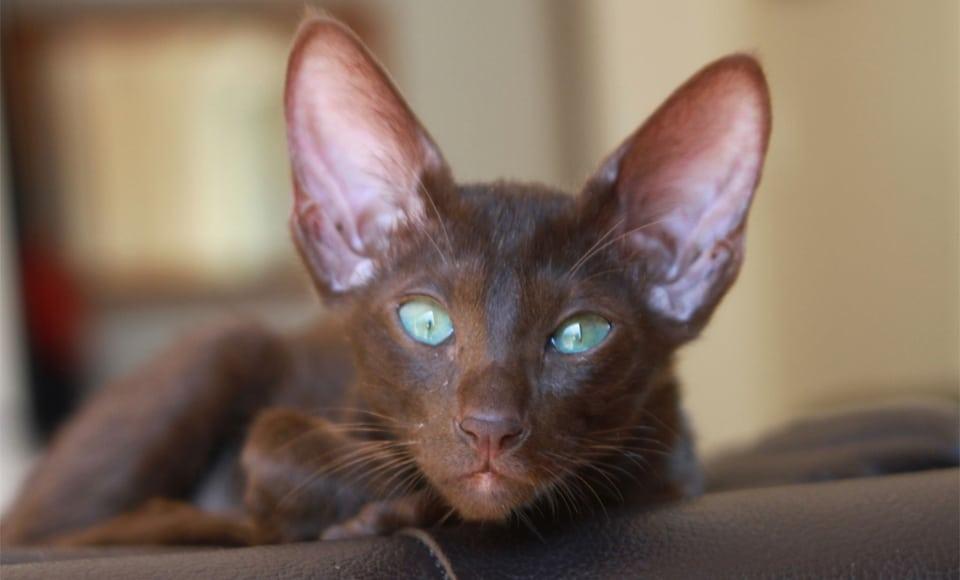 Pisica Orientala neagra vazuta de aproape.