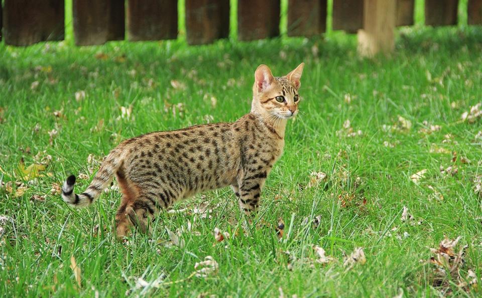 Pisica Savannah in iarba.