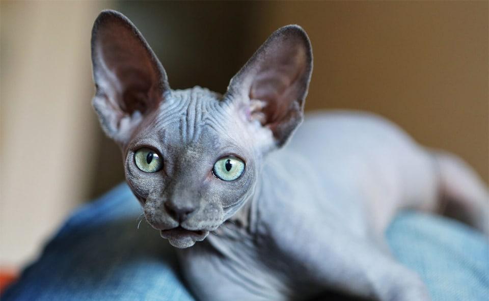 Pisica Sfinx vazuta de aproape.