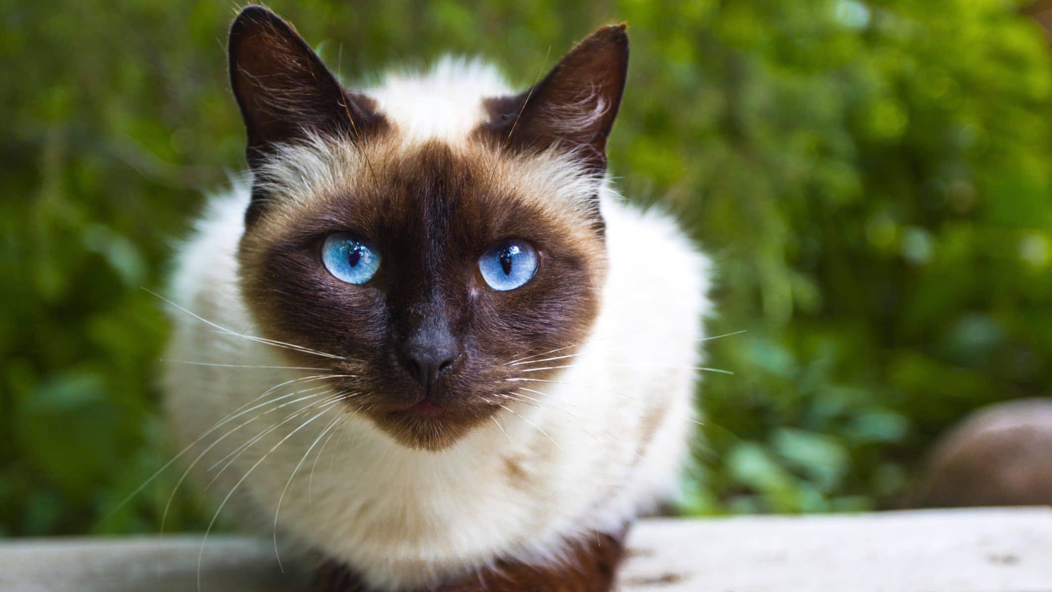 Pisica Siameza vazuta de aproape.
