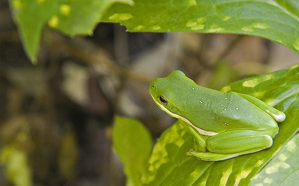 Brotac verde american stand pe o frunza.