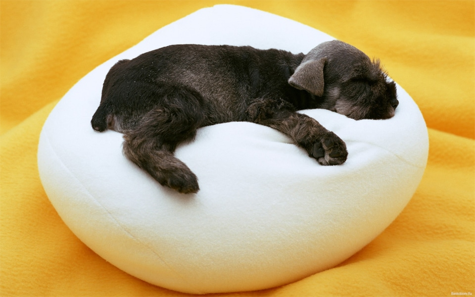 Pui de catel negru dormind pe un culcus alb.