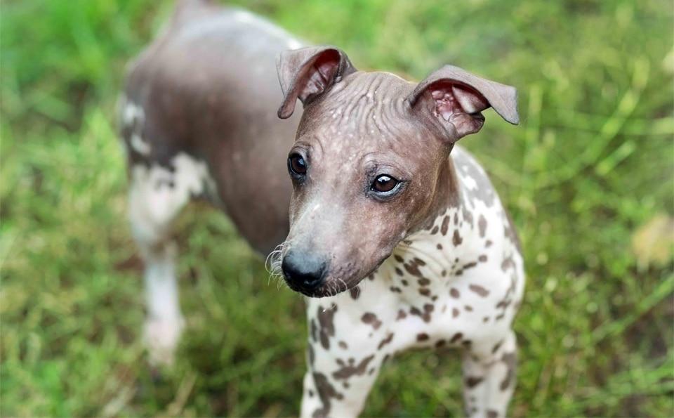 Caine Terrier American fara par vazut de aproape.