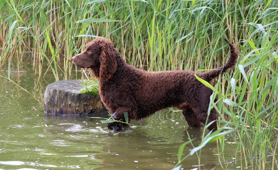 Caine Spaniel de apă american intrand intr-un lac.