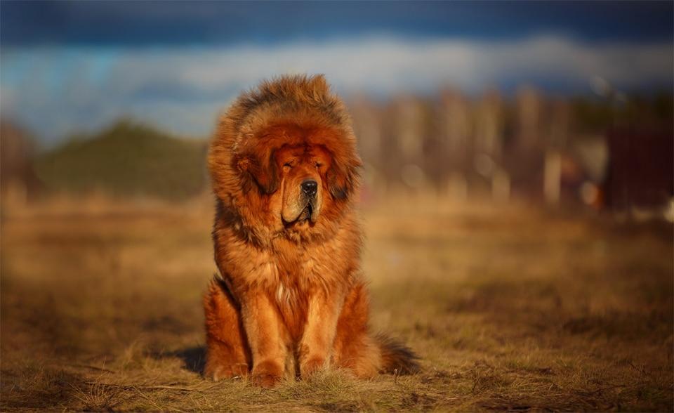 Caine Tibetan Mastiff stand in fund.