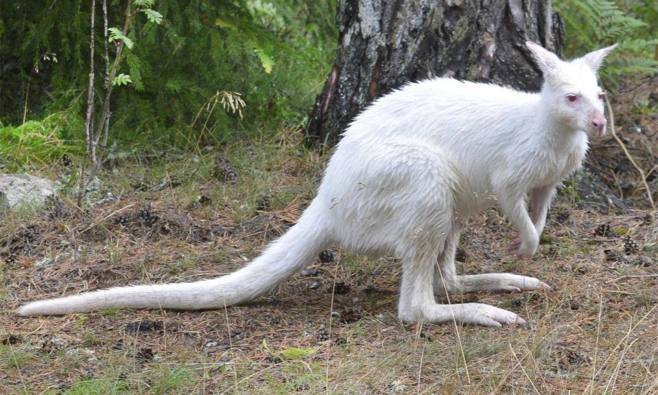 Cangur albino langa un copac.