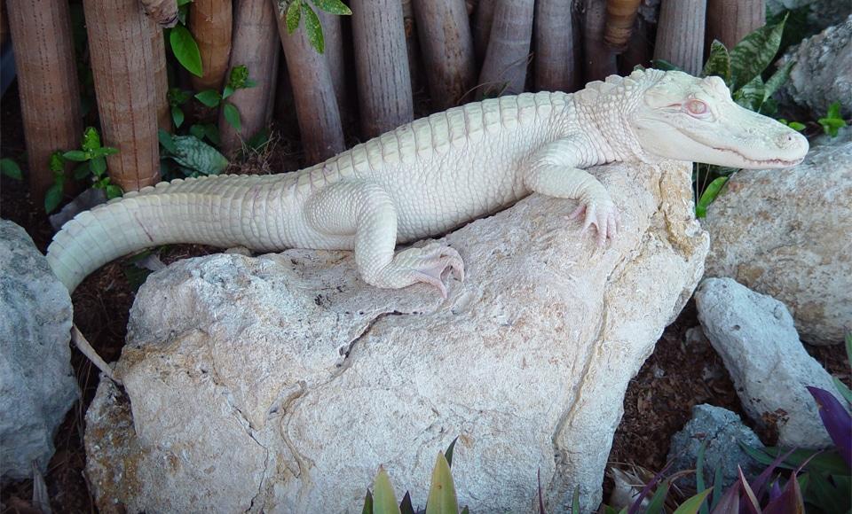 Crocodil albino pe o piatra.