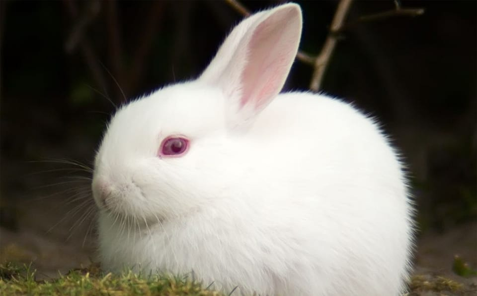 Iepure albino cu ochi rosii vazuti de aproape.