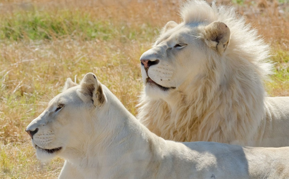 Leu si leoaica albino.