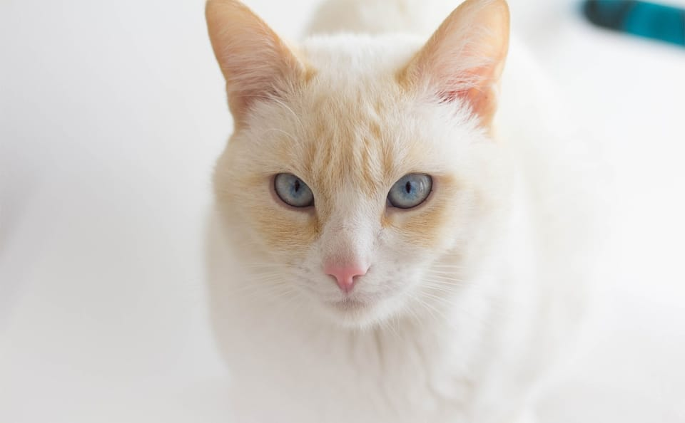 Pisica albino vazuta de aproape.