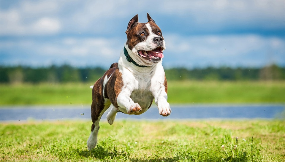 Caine American Staffordshire Terrier in alergare.