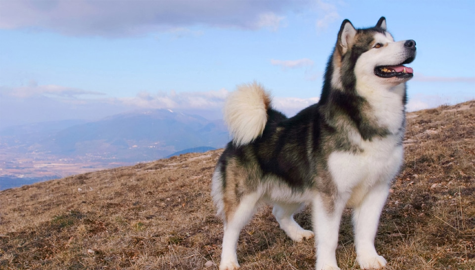 Caine Malamut de Alaska.