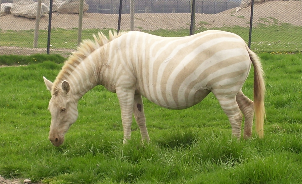 Zebra albino pascand pe o pajiste.