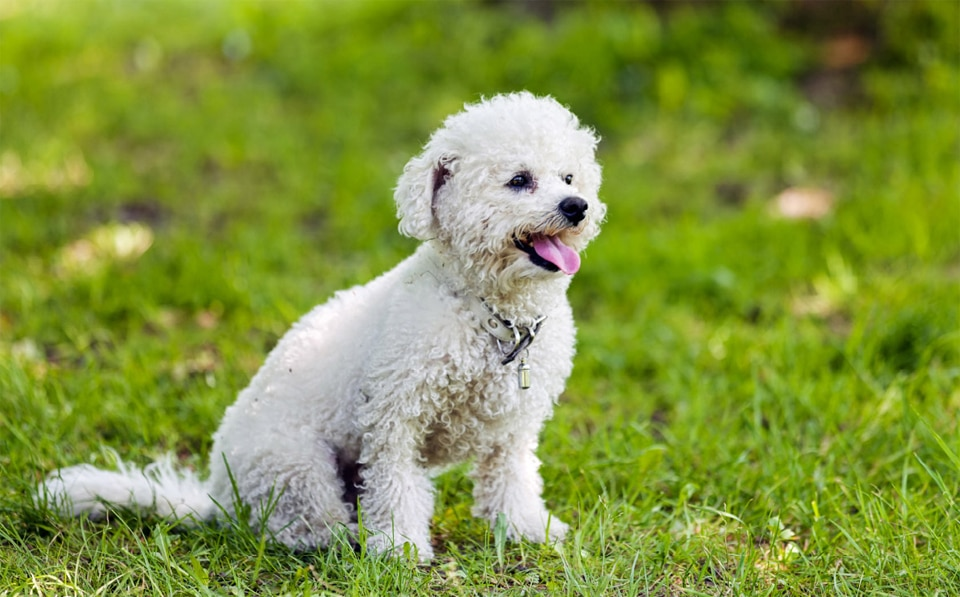 Caine Bichon frise stand in fund in iarba.