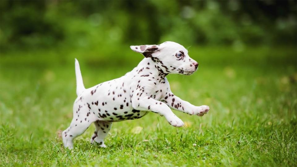 Pui de caine Dalmatian alergand prin iarba.