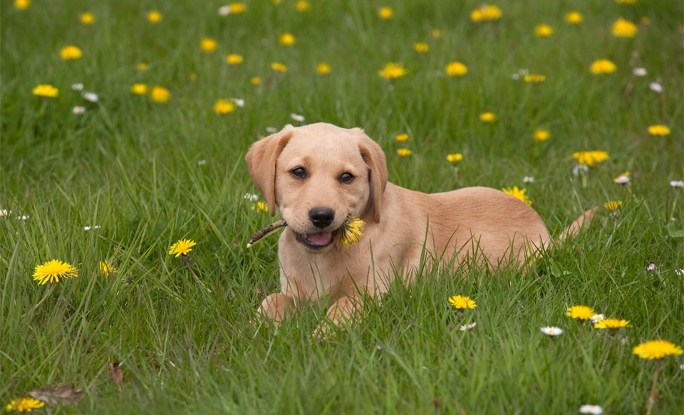 Pui de caine Labrador cu o floare in gura.