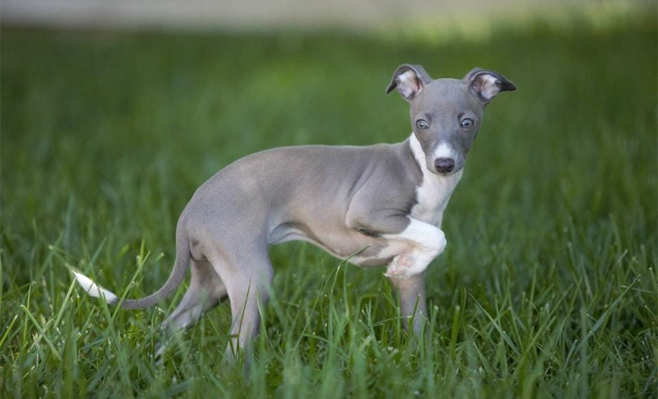 Pui de caine Ogar englez (Greyhound).