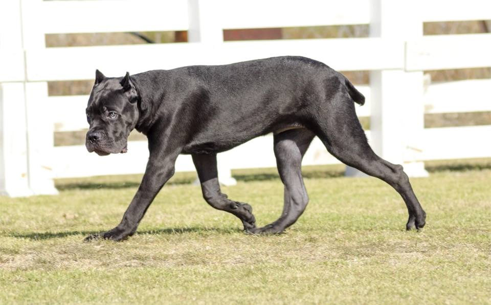 Caine Cane Corso in mers.