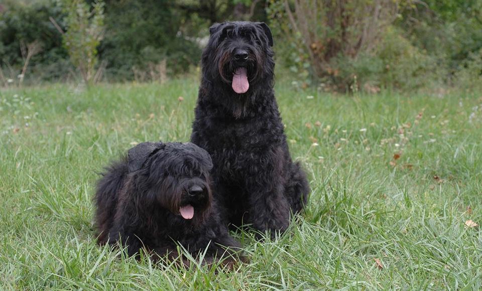 Doi caini ciobanesti de Flandra (Bouvier de Flandra) stand in iarba