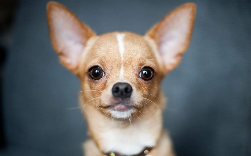Caine Chihuahua vazut de aproape.