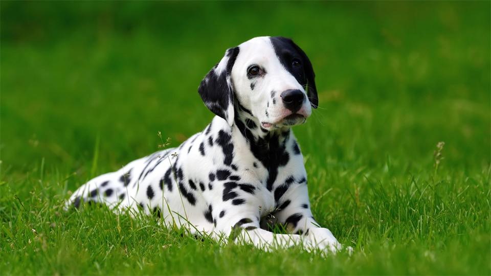Caine Dalmatian stand in iarba.