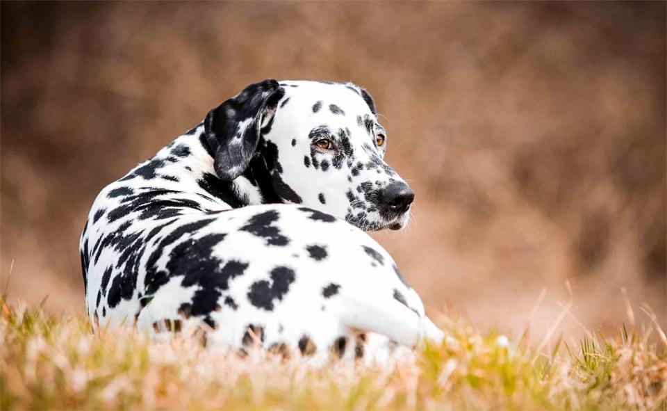 Caine Dalmatian culcat in iarba si vazut din spate.