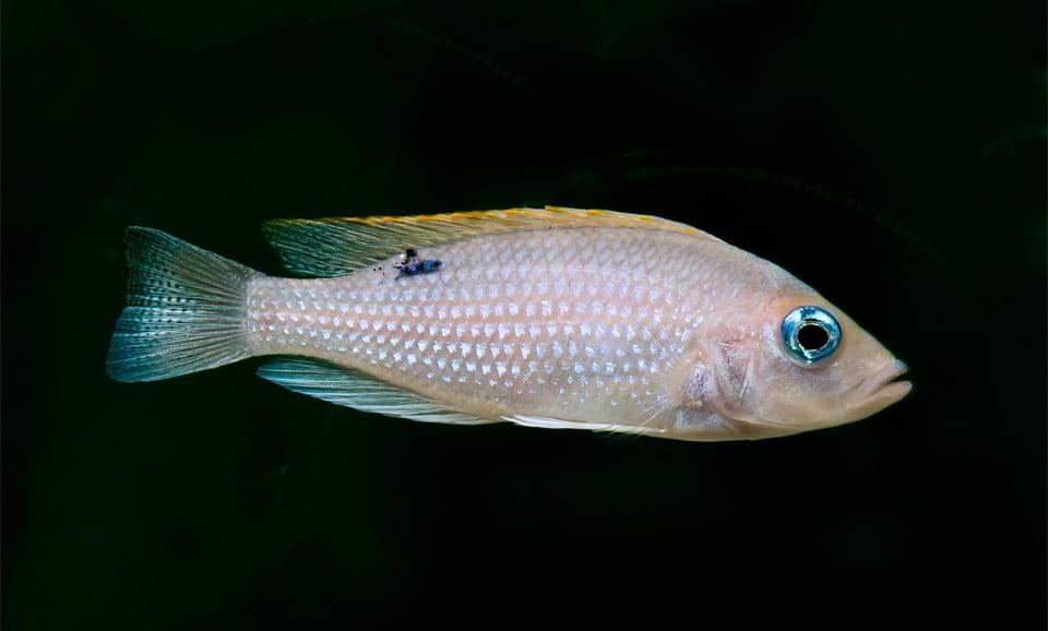Peste din familia Cichlidae vazut de aproape.