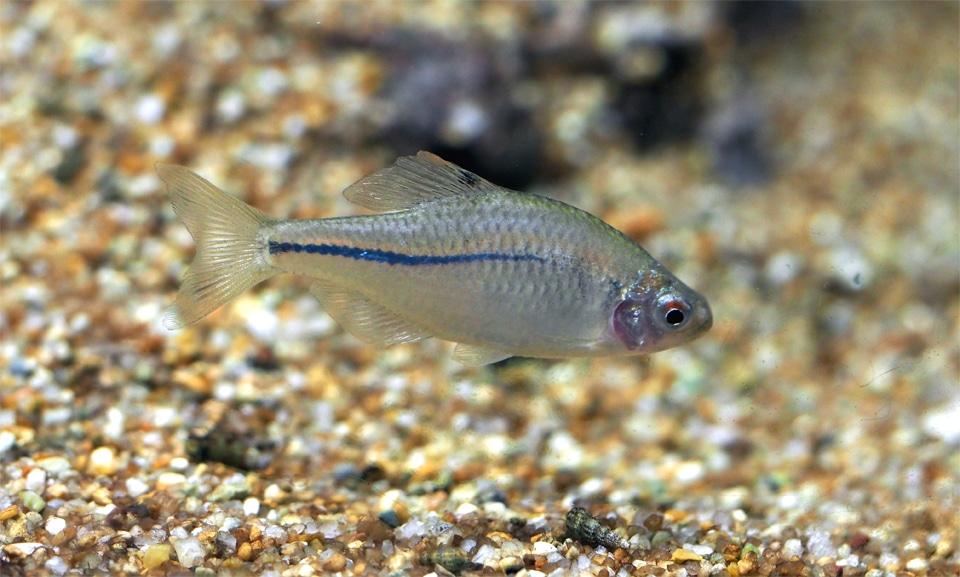 Peste din familia Ciprinide inotand aproape de fundul unui acvariu.