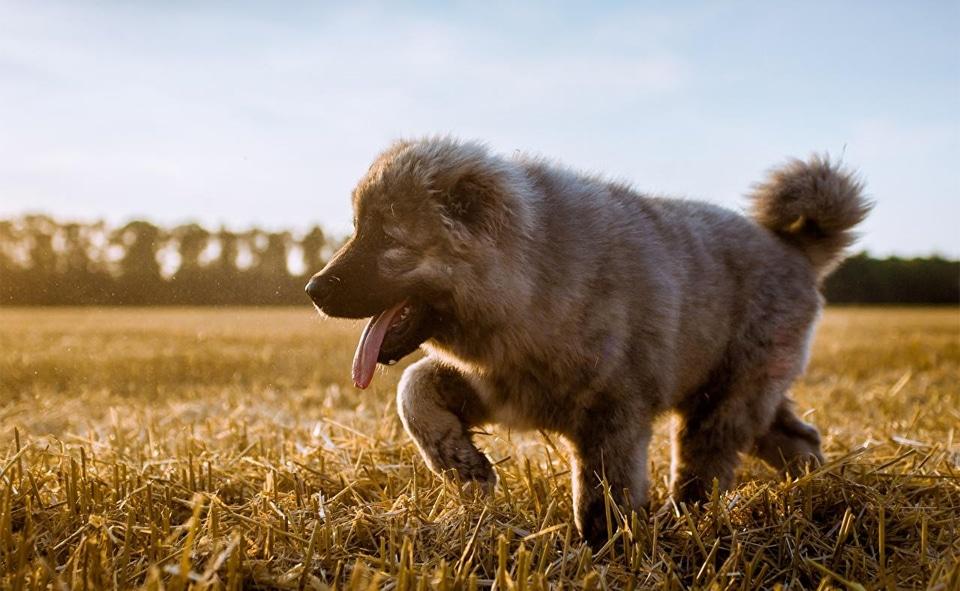 Pui de caine Ciobănesc caucazian vazut de aproape.
