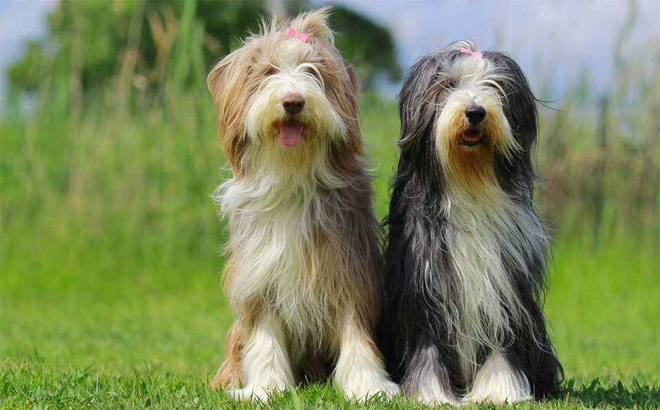 Doi caini Bearded Collie stand in fund in iarba.