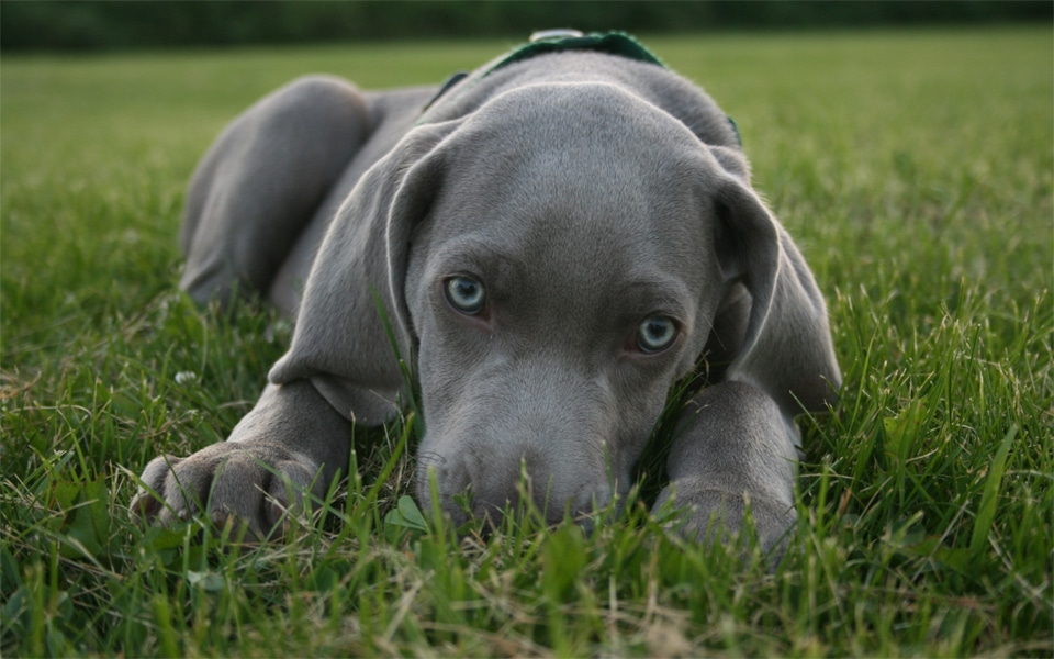 Caine Blue Lacy stand culcat in iarba.