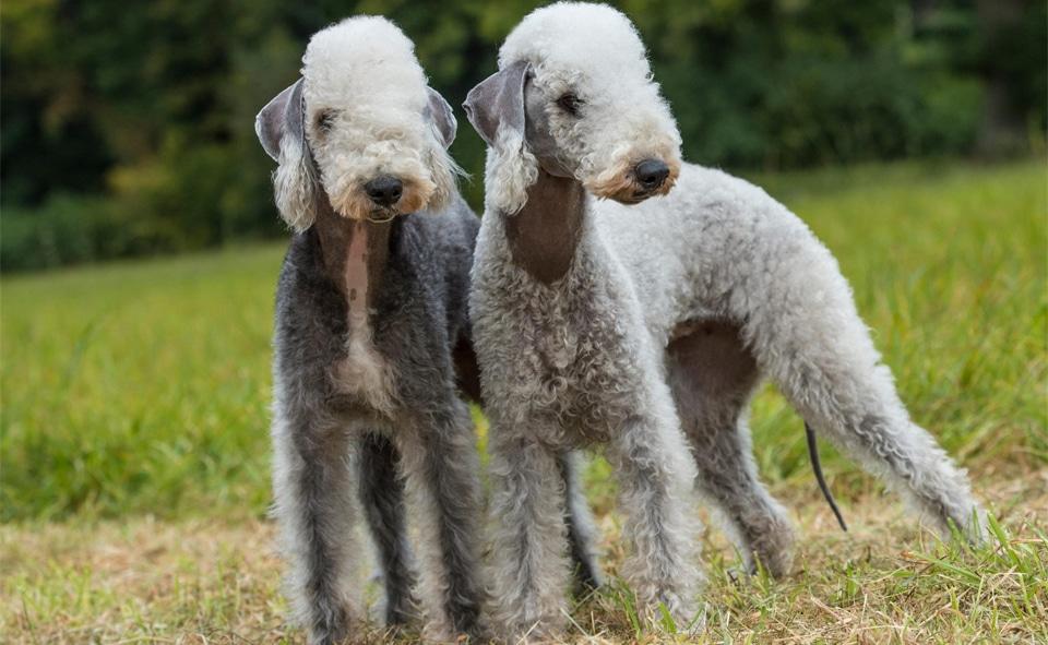 Doi caini Bedlington Terrier in iarba.